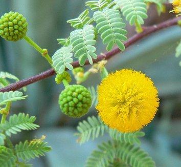 Acacia constricta 5 flower