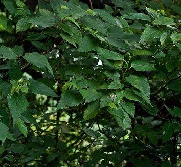 Morus australis 1