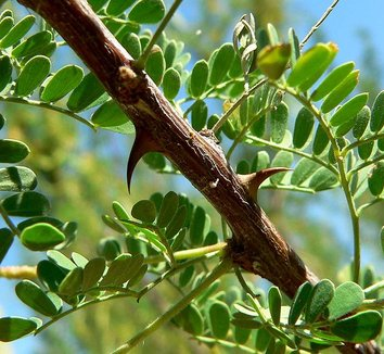 Acacia greggii 7