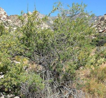 Acacia greggii 6 form