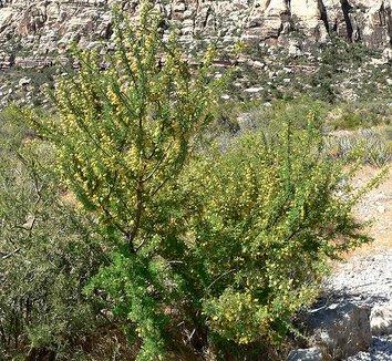 Acacia greggii 4 flower, form