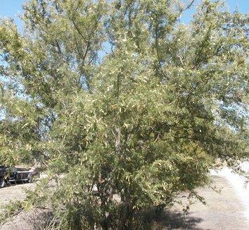 Acacia greggii 9 form