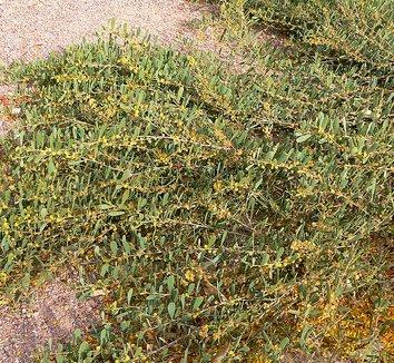 Acacia redolens 2