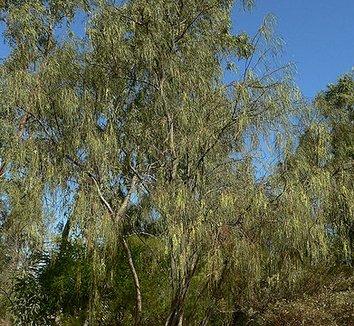 Acacia stenophylla 1 form
