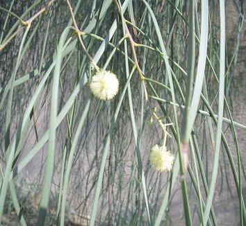 Acacia stenophylla 5 flower