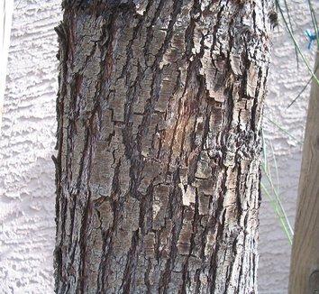 Acacia stenophylla 6