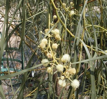 Acacia stenophylla 8 flower