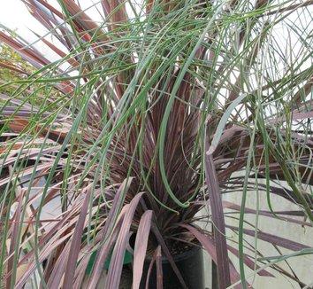 Acacia stenophylla 9