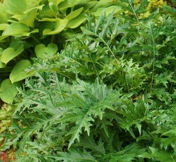 Acanthus spinosus 15