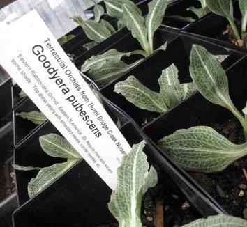 Goodyera pubescens 1