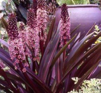 Eucomis comosa 'Sparkling Burgundy' 13 flower