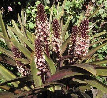 Eucomis comosa 'Sparkling Burgundy' 17 flower