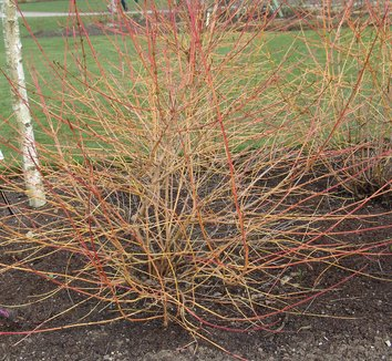 Cornus sanguinea 'Midwinter Fire' 1 form
