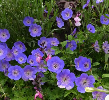 Geranium 'Rozanne' PP12175 4 flower