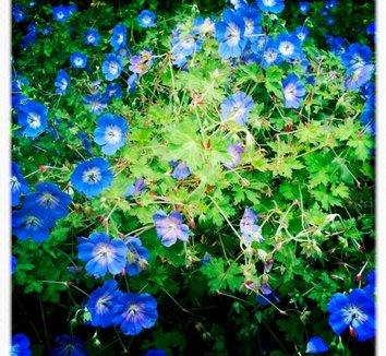 Geranium 'Rozanne' PP12175 6 flower