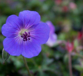 Geranium 'Rozanne' PP12175 11 flower