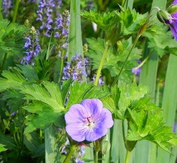 Geranium 'Rozanne' PP12175 16 flower