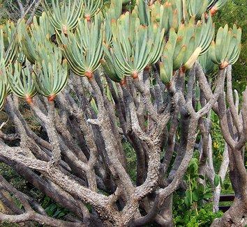 Aloe plicatilis 2 form
