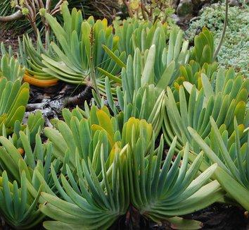 Aloe plicatilis 3