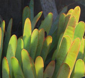 Aloe plicatilis 4