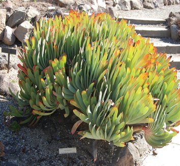 Aloe plicatilis 5 form