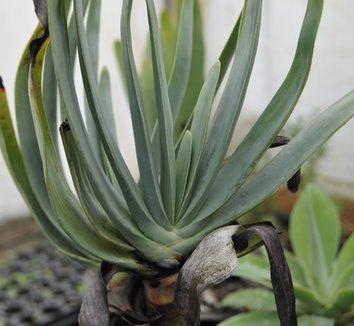 Aloe plicatilis 7