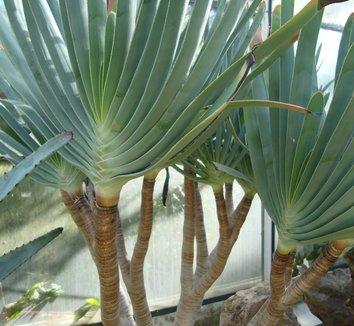 Aloe plicatilis 8