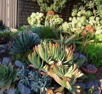 Aloe plicatilis 12