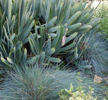 Aloe plicatilis 14