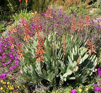 Aloe plicatilis 16 flower