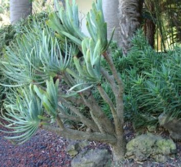 Aloe plicatilis 24 form