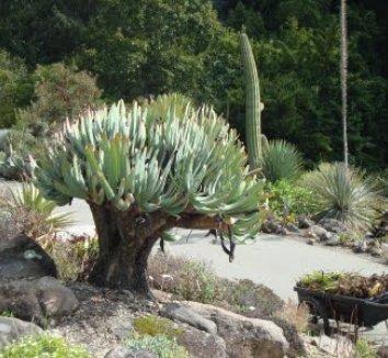 Aloe plicatilis 25 form