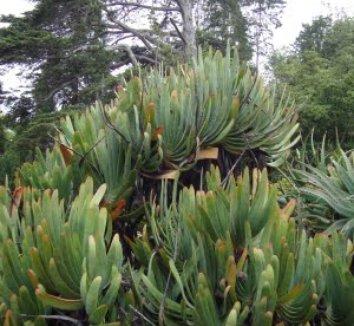 Aloe plicatilis 26