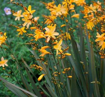 Crocosmia 'Solfaterre' 7 flower
