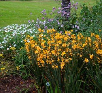 Crocosmia 'Solfaterre' 8 flower