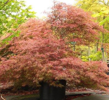 Acer palmatum dissectum 'Baldsmith' 9 form