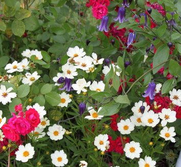 Clematis integrifolia 'Rooguchi' 5 flower