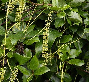 Itea ilicifolia 8 flower