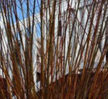 Salix integra 'Hakuro Nishiki' 21