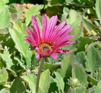 Arctotis acaulis cv. 'Big Magenta' 1 flower