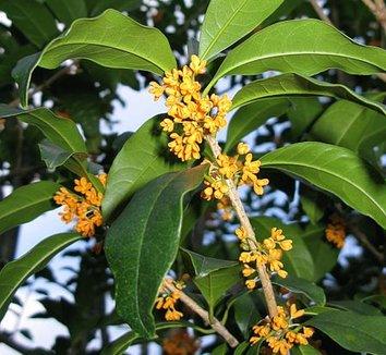 Osmanthus fragrans var. aurantiacus 1 flower