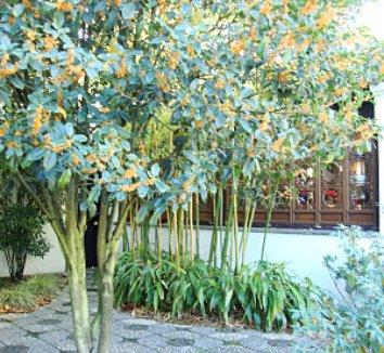 Osmanthus fragrans var. aurantiacus 7 form