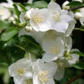 Philadelphus 'Innocence'