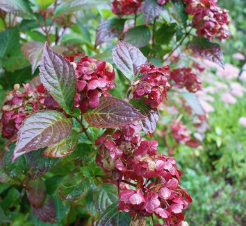 Hydrangea 'Preziosa' 4 flower