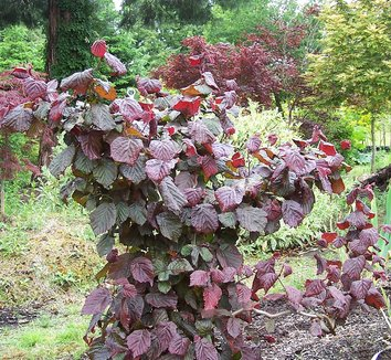 Corylus 'Red Majestic' 13 form