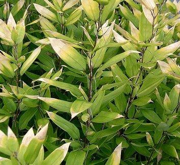 Shibataea kumasaca 1