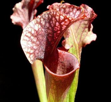Sarracenia purpurea x flava x leucophylla 'Judith Hindle' 1 flower