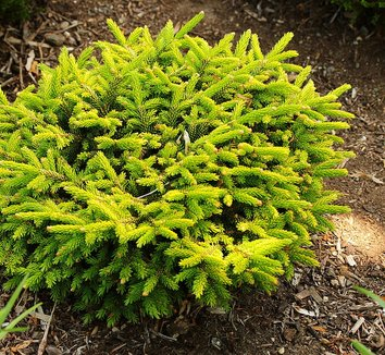 Picea orientalis 'Tom Thumb Gold' 1