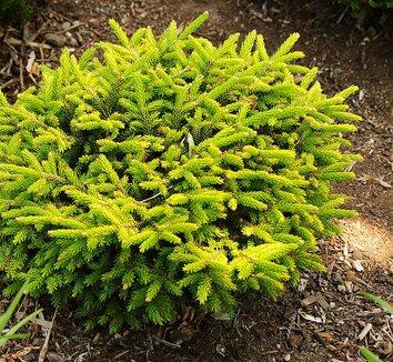 Picea orientalis 'Tom Thumb Gold' 1