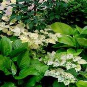 Fallopia japonica 'Variegata'